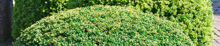 Niedrige Heckenpflanzen