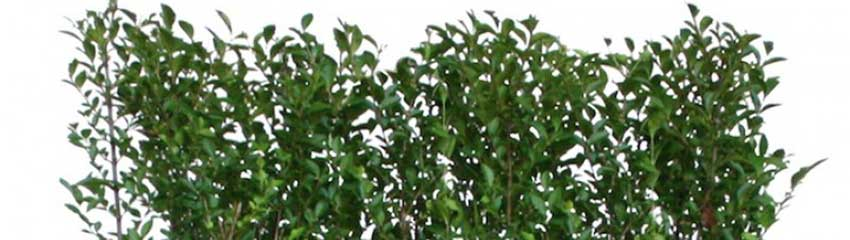 Ovalblättrigen Liguster online kaufen