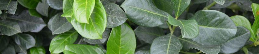 Pflanzen für kalkhaltige Böden kaufen
