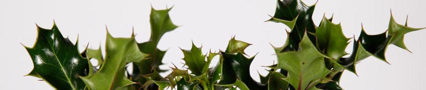 Worauf beim Pflanzen von Stechpalmen noch zu achten ist