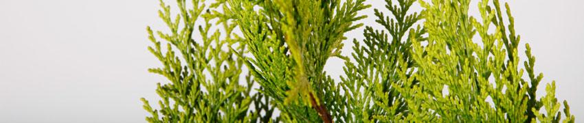 >Scheinzypressen nach dem Pflanzen