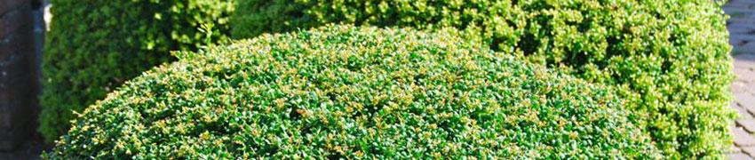 Pflanztipps für Japanische Stechpalmen