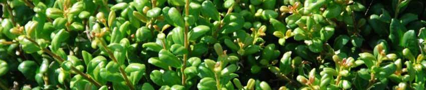 Pflegeleichte Heckenpflanzen online selektieren und kaufen