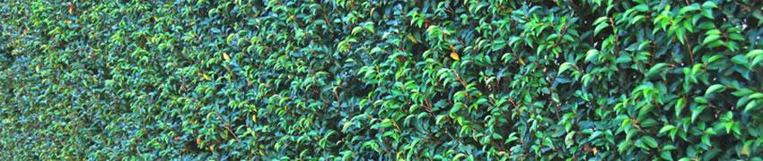 Welche Hecke ist schöner: Portugiesische Kirschlorbeer-Hecken oder Buchsbaum-Hecken?