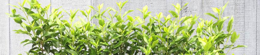 Was ist der Portugiesische Kirschlorbeer für eine Heckenpflanze?