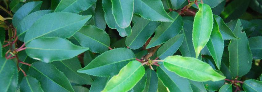Portugiesischer Kirschlorbeer als Buchsbaum-Alternative