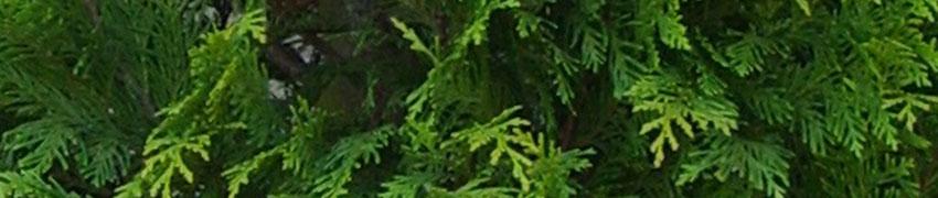 Scheinzypressen nach dem Pflanzen