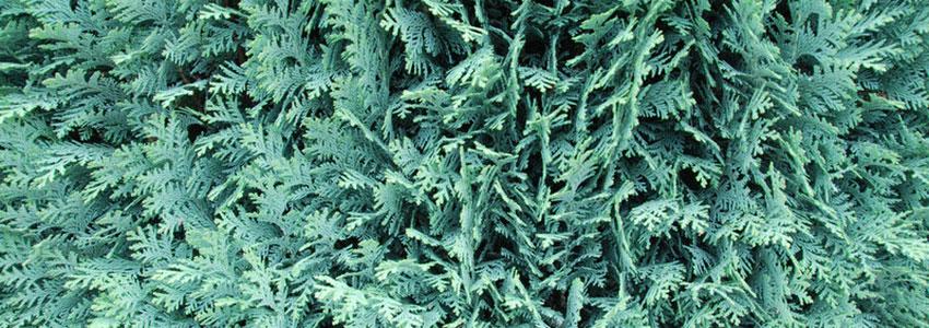 Scheinzypressen pflanzen
