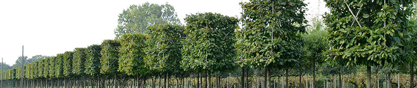 Spalierbäume pflanzen: wie funktioniert das?