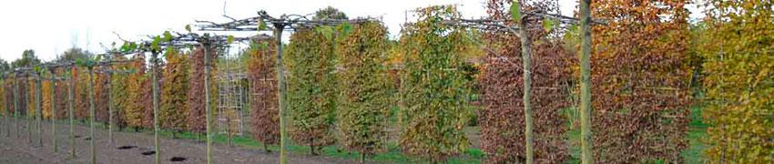 Spalierbäume pflanzen