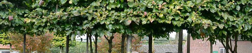 Spalierbäume schneiden