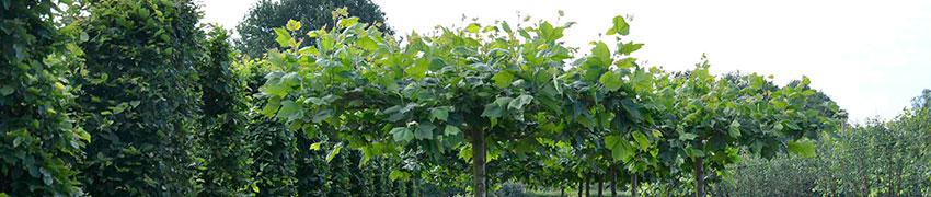 Spalierbäume über Heckenpflanzendirekt.de