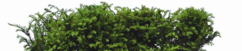 Taxus Baccata pflanzen