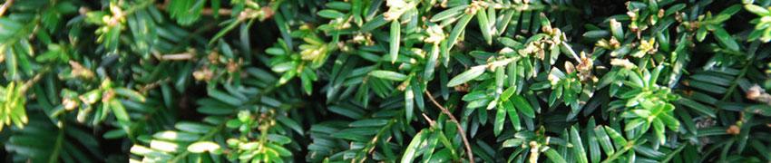 Taxus Baccata pflegen