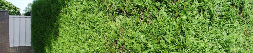 Die Thuja ist ein immergrünes, wuchsfreudiges Zypressengewächs