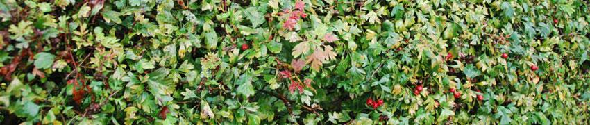 Tipps zum Pflanzen von Weißdornhecken