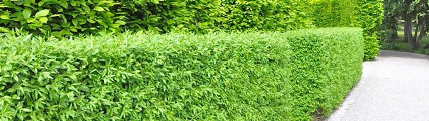 Wintergrüne Liguster 'Atrovirens': gut blickdicht