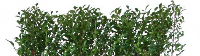Wintergrüne Liguster 'Atrovirens': gut für Insekten und Vögel