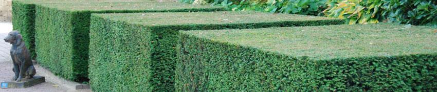Winterharte Heckenpflanzen online kaufen: zeitsparend und praktisch