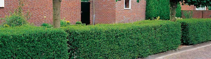 Wie sollten wurzelnackte Heckenpflanzen gepflanzt werden?