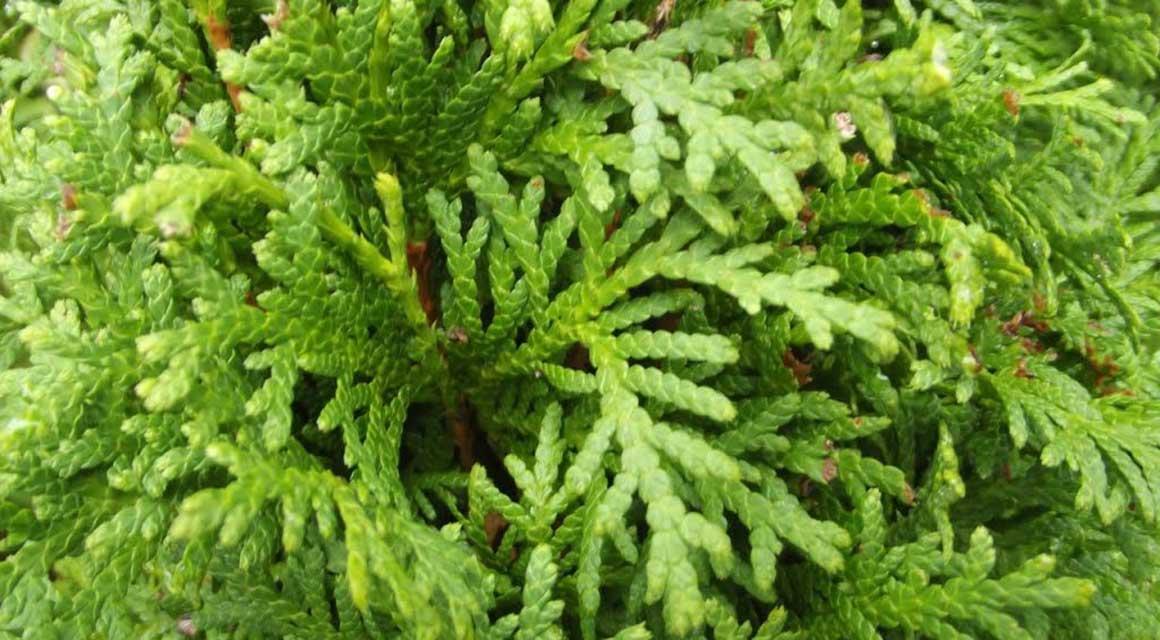 beliebtesten nicht-einheimischen Heckenpflanzen