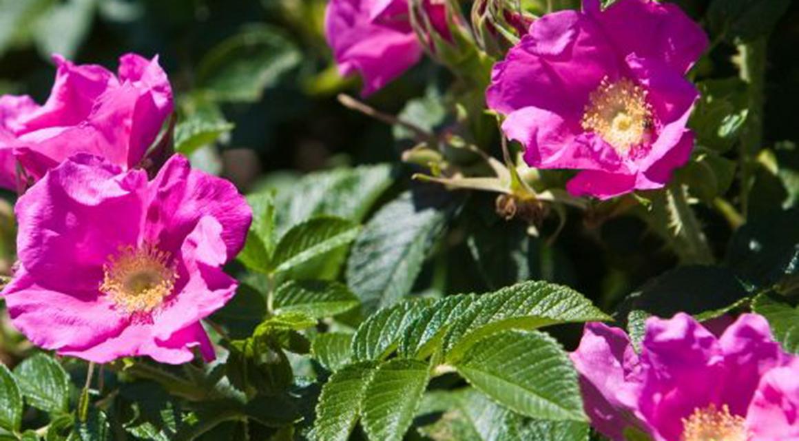 Rosen in den Garten