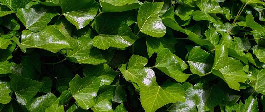 Stechpalme pflanzen