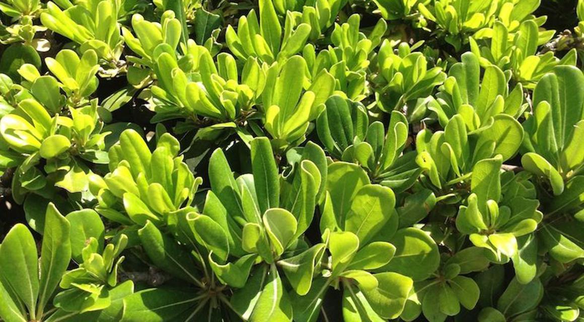 Trockenresistente Heckenpflanzen