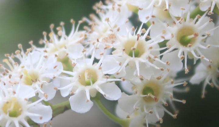 Blüten Kirschlorbeer-Hecke