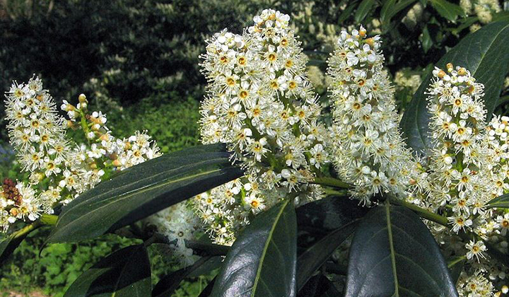 Kirschlorbeer 'Herbergii' zahlreiche Blüten
