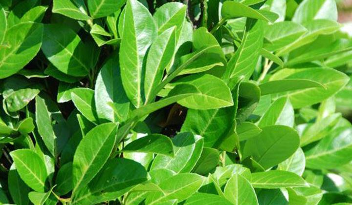Kirschlorbeer 'Rotundifolia' kaufen