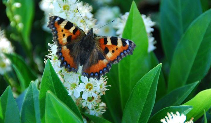 Kirschlorbeer Schmetterling