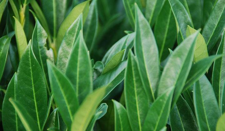 Langsam wachsende Kirschlorbeer-Hecke