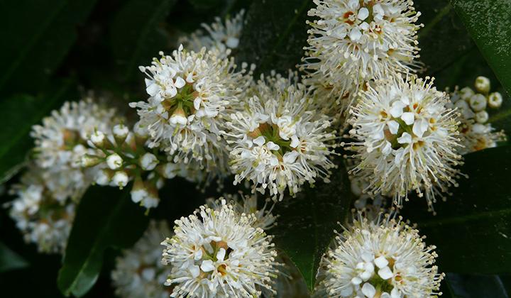 Heckenplanzen aus der Pflanzengattung Prunus