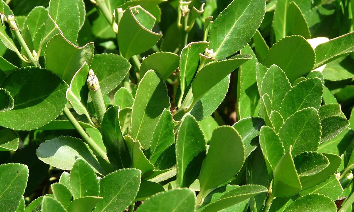 weißer Belag ud zusammengerollte Blätter Mehltau
